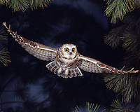 Saw-whet Owl in flight (Ohio)