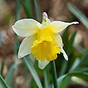 Wild daffodil or Lent lily (Narcissus pseudonarcissus 'Lobularis'), mid March.