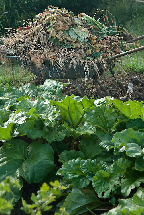 A wheelbarrow full of waste plant material ready for the compost heap, mid June.