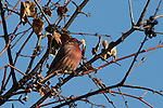 Purple Finch in a tree near Lake Nokomis