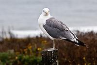 A California gull at Pescadero State Beach, California