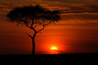 Acacia tree silhouetted at sunrise, Masai Mara, Kenya