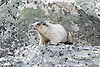 Hoary marmot amongst the rocks