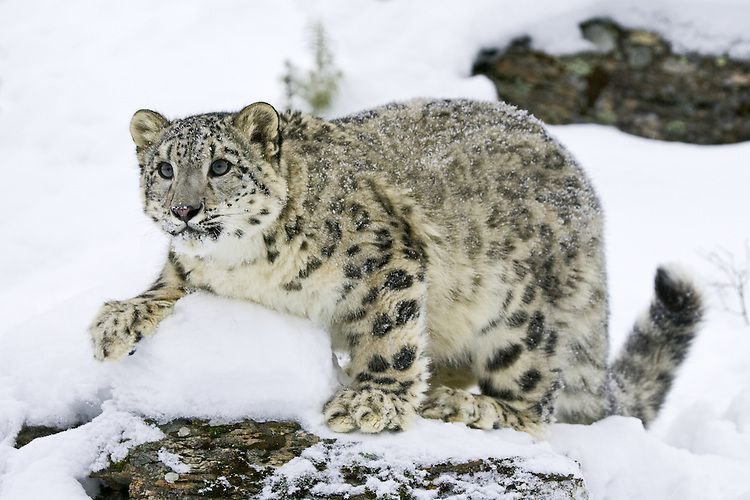 Snow Leopard standing on a snow covered rocky ledge - CA