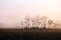 A small hammock of pine or cypress trees protrudes from early-morning fog in a sawgrass prairie meadow in Everglades National Park, Florida.