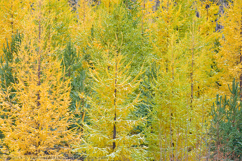 Tamarack trees, needles turning yellow prior to falling off as the first snowfall arrives in Fairbanks, Alaska.