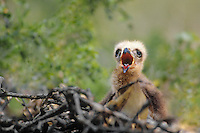541710024 a wild common black hawk chick buteogallus anthracinus sits on its nest calling for food in tamaulipas state in northern mexico