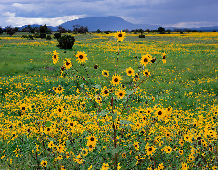 """Sunflowers, Escudilla Mountain   ARIZONA"""