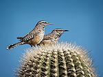 Cactus Wrens near Lake Pleasant, Arizona