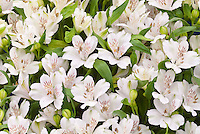 Alstroemeria 'Virginia' white flowers