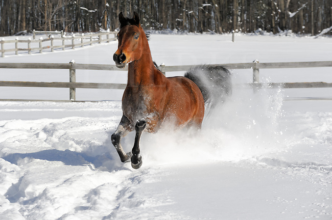 This horse loved the snow and had great fun running around the small paddock making the 28&rdquo; powder fly! I was standing near one corner and with every pass he would come at me head on and juke off to my left, then into the corner where he would pause before making another go-round. We were both having fun doing this with me as turn post in his snow-game, and on it went. After years of waiting for powder snow and sunlight, I was shooting some exciting images!<br /> <br /> It can be a little frightening to have a horse run at you and I do NOT encourage anyone try it, not even the horse. If so, you do have to remember to stand your ground, they&rsquo;ll go around. In fact, it's when you try to dodge that you can be struck. I know this horse fairly well. He has had extensive professional training and a lot of time around people. I was trusting him not to hit me and felt that I could.<br /> <br /> Being a young and exuberant gelding loving the deep snow, he would sometimes buck his hindquarters up to the left and right every other stride, and then the white would really fly! He started this bucking maneuver coming at me on one particular pass, and as he came around close on the left I heard a loud CRACK...I'd been hit on the elbow with a flying hoof!<br /> <br /> At first the elbow wouldn't move from the shock, but then it did and nothing had been broken! Lucky? Heck yes, and all that came of it was the elbow was a little sore into the next day. It could have been my head and far worse. The horse didn't mean it as he was just having fun and feeling his proverbial oats, but you always take a chance that close to the action. Once again, NOT recommended.