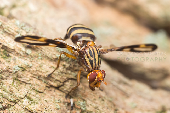A Ulidiid fly (Idana marginata) searches for food on the side of a dead tree.
