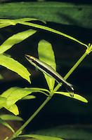 Einbinden-Ziersalmer, Pfauenaugen-Schrägsteher, Nannostomus unifasciatus, Nannobrycon unifasciatus, Poecilobrycon unifasciatus, one-lined pencilfish, Peacock pencilfish