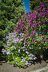 Two lilac bushes blooming in the spring