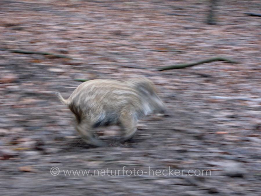 Wildschwein, Wild-Schwein, Schwarzwild, Frischling, Jungtier flüchtend, Bewegungsunschärfe, Sus scrofa, Wild boar, Sanglier d´Europe