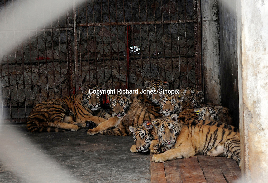 One year old cubs at the Xiongsen Bear and Tiger park in Guilin, China. The park has farmed 1500 tigers and sells an illegal tiger bone wine to tourists that visit the park.  There are currently around 6,000 tigers in captivity in China.<br /> <br /> PHOTO BY SINOPIX