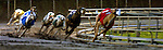 A wet track doesn't discourage the competitive spirit of the dogs during a race at the Multnomah Greyhound Park.