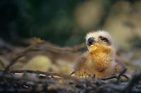 541710019 Common Black Hawk Buteogallus anthracinus WILD.Chick on Nest.Tamaulipas State, Mexico