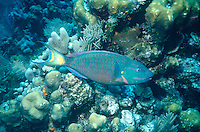 MARINE LIFE: REEFS<br /> Stoplight Parrotfish, Supermale<br /> Parrotfish play an important role in bioerosion, found in shallow tropical and subtropical oceans of the world. Their eating habits allow coral sands to be distributed and prevent algae from choking coral.