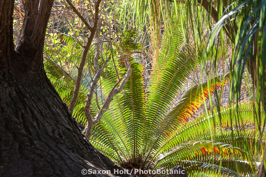 Cycad backlit in Desert Garden at Huntington Library Botanical Garden