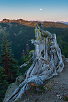 "Gnarled tree on Hurricane Hill, Olympic NP. An almost-full moon—the day before a ""supermoon""—rises to the S/SE as the last light of the sun skims the peaks."