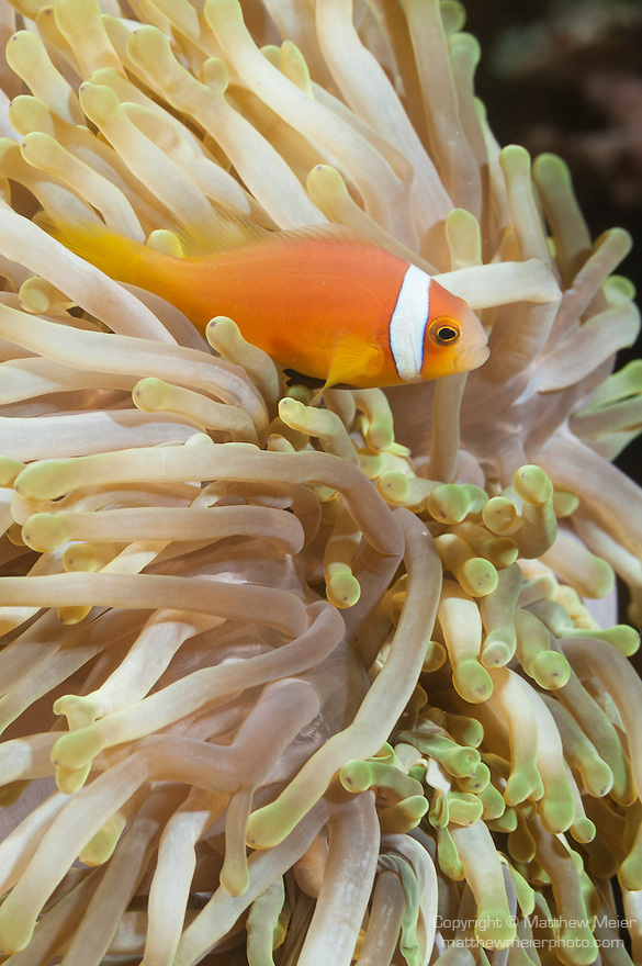 Fahala Giri, Kalhufahalafushi Island, Thaa Atoll, Maldives; Blackfinned Anemonefish (Amphiprion nigripes) in a yellow Magnificent Sea Anemone