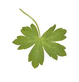 Hedge Crane's-bill - Geranium pyrenaicum