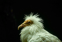 Egyptian vulture portrait