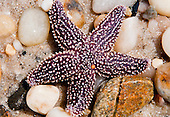 New York, Long Island - starfish on the beach.