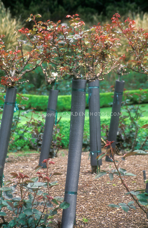 Winter maintenance of roses, rose bushes stems protected by insulation wrap, mulched in the rose garden