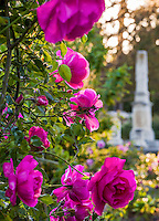 'Climbing American Beauty' - Old rose flowering in Sacramento Old City Cemetery