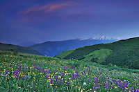 Early Purple Orchids (Orchis mascula), Forca Canapine/Sibillini National Park, Italy; WWoE Mission