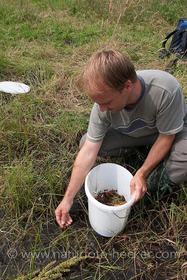 Junge Wechselkröten werden im Rahmen eines Amphibienschutz-Programmes von einem Biologen an einem geeigneten Gewässer ausgesetzt, Wechselkröte, Wechsel-Kröte, Grüne Kröte, Bufo viridis, green toad