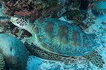 Vilingili Kandu, Viligili Island, Huvadhoo Atoll, Maldives; a Green Sea Turtle (Chelonia mydas) resting in the sand beside the coral reef