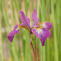 Iris sibirica 'Sparkling Rose', mid May. A Siberian iris with lilac-pink petals on a veined, white base.