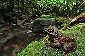 Grandidier's Stream Frog (Mantidactylus grandidieri), Masoala National Park, Madagascar.