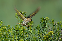 578590011 a wild pine siskin carduelis pinus forages on wild bushes in bryce canyon national park utah united states