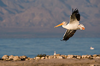570040012 a wild white pelican pelecanus cryrhrorhynchos soars over the shoreline at the salton sea national wildlife refuge in southern california