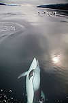 Pacific White-Sided Dolphin (Lagenorhynchus oblquidens) bow riding in Johnstone Strait off northern Vancouver Island, British Columbia, Canada.