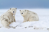 Polar bear cubs sit in the snow on an island in the Beaufort Sea on Alaska's arctic coast.