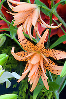 Lily with spots (Lilium species 'Flore Pleno', possibly lancifolium, closeup