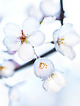 Beautiful white flowers of Japanese sakura cherry blossoms