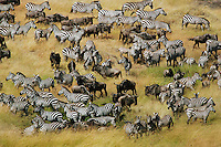 Herds of wildebeests (Connochaetes taurinus) and zebras migrating in Masai Mara National Reserve, Kenya.