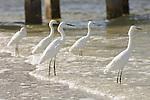 Sanibel Lighthouse Beach, Sanibel Island, Florida; five Snowy Egrets (Egretta thula) stand in the shallow surf zone near the fishing pier © Matthew Meier Photography, matthewmeierphoto.com All Rights Reserved