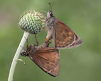 Clouded Skipper's mating on thistle, late May in Central Texas.