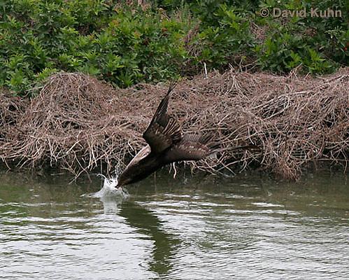 0308-0872  Diving Brown Pelican, Pelecanus occidentalis © David Kuhn/Dwight Kuhn Photography