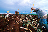 Brazilian field workers harvest sugar cane. Brazil.