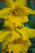 Switzerland. Springtime. Close-up of opened daffodils.
