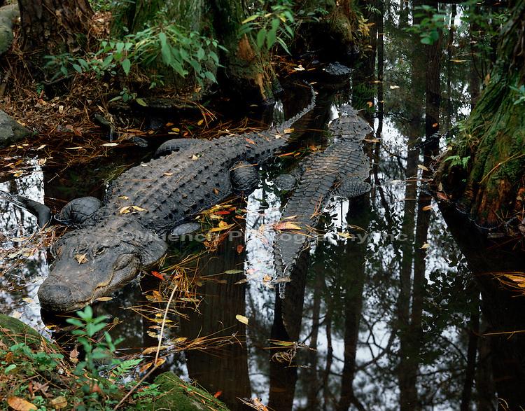 """Alligators and Mangroves, West Lake   Everglades NP  FLORIDA"""