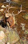 Bull Elk, Gibbon River, Yellowstone National Park, Wyoming